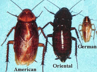 Arizona Cockroaches House Doctor Exterminating