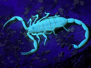 Arizona Bark Scorpion under Black Light at Night